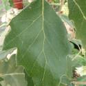 Quercus x hispanica fulhamensis