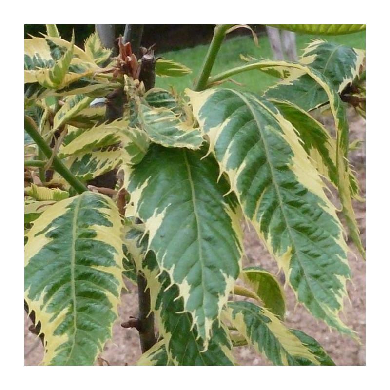 Castanea sativa variegata