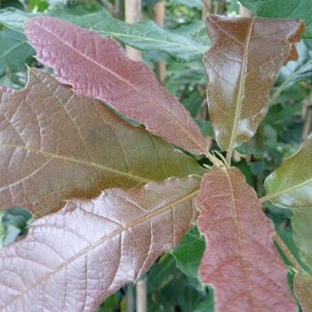Quercus rysophylla maya