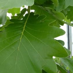 Quercus Carl Ferris Miller