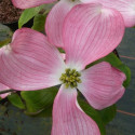 Cornus florida sweetwater