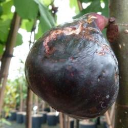 Ficus noire de Bellone