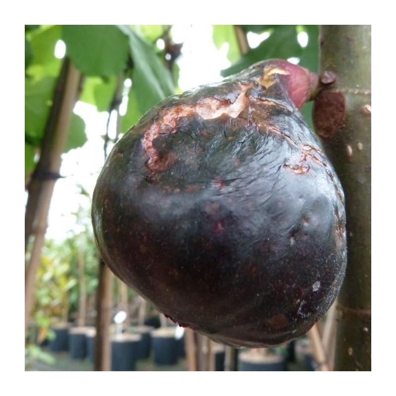 Ficus carica noire de Bellone