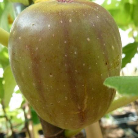 Ficus col de dame blanc