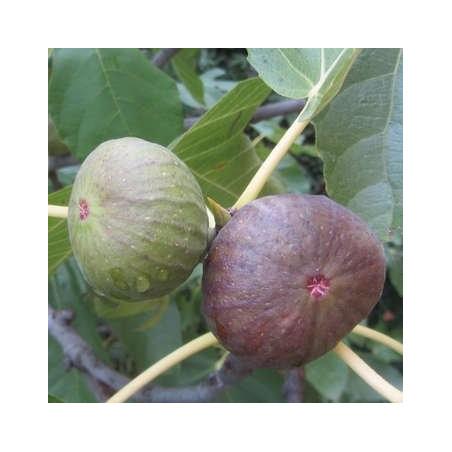 Ficus Osborn prolific
