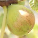 Ficus gentil bianco