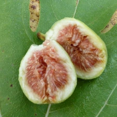 Ficus précoce de Dalmatie