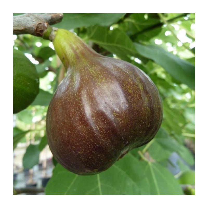 Ficus Bornholm's diamant