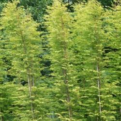 Metasequoia gold rush