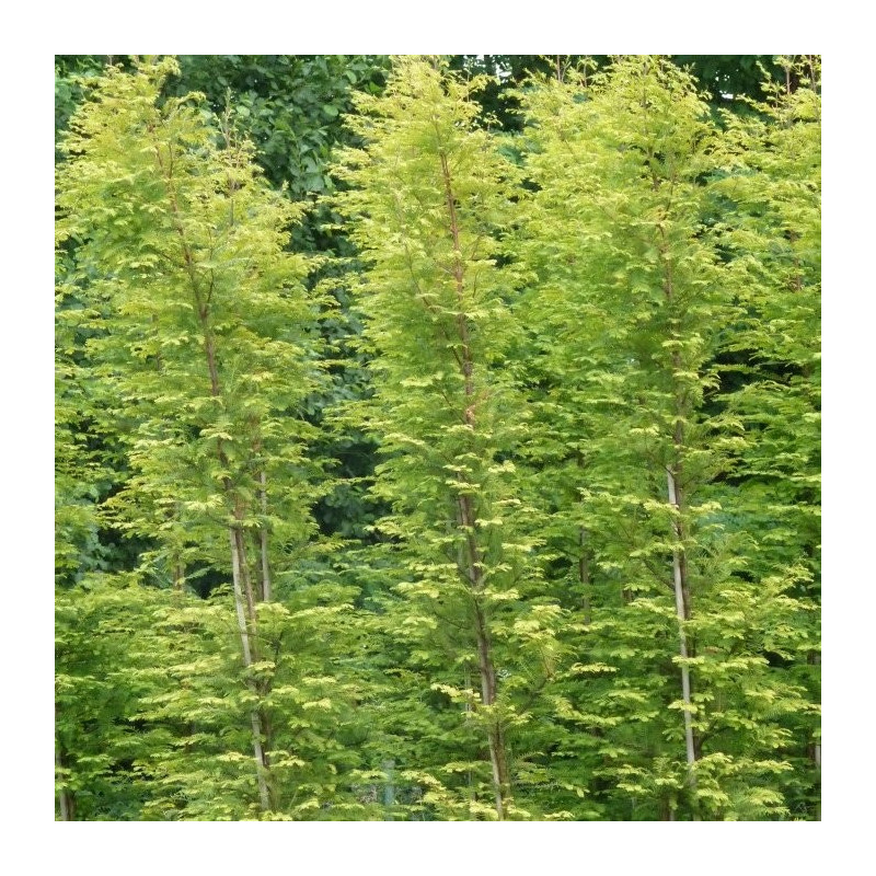 Metasequoia gold rush