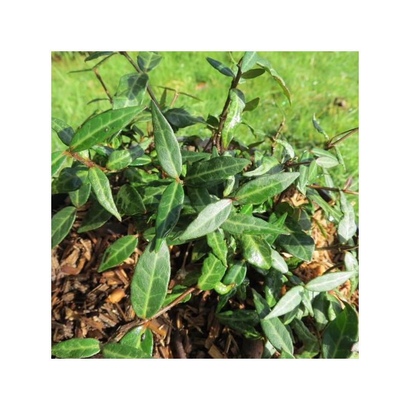 Trachelospermum wilsonii