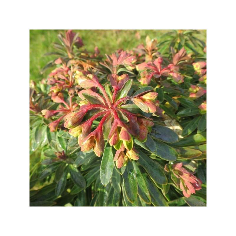 Euphorbia redwing®