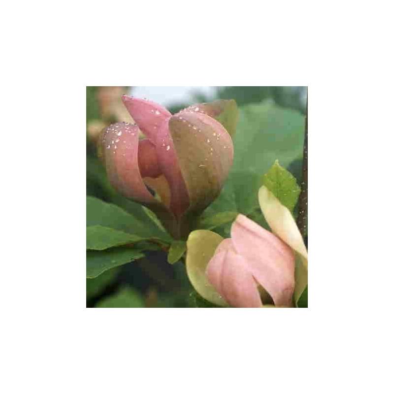 Magnolia brooklynensis 'Eva Maria'