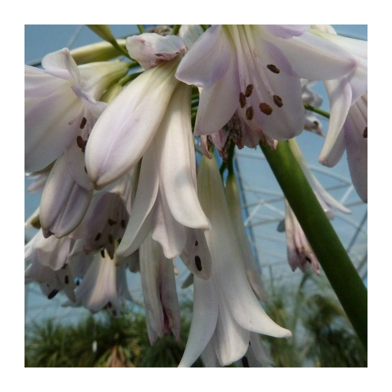 Agapanthus crystal drop