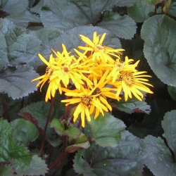 Ligularia Britt Mary Crawford®