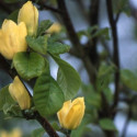 Magnolia brooklynensis 'yellow bird'