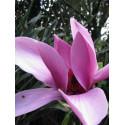 Magnolia 'Caerhays surprise'