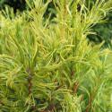 Pinus strobus tiny curls