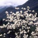 Magnolia 'David Clulow'