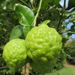 Citrus hystrix, combawa