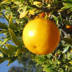 Citrus x meyeri citronnier hybride for Citrus myrtifolia
