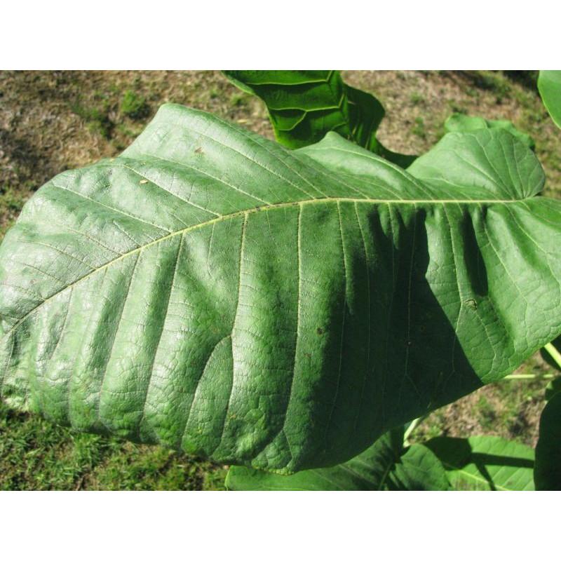 Magnolia dealbata feuille