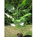 Magnolia dealbata plant