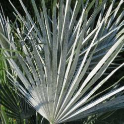 Chamaerops argentea