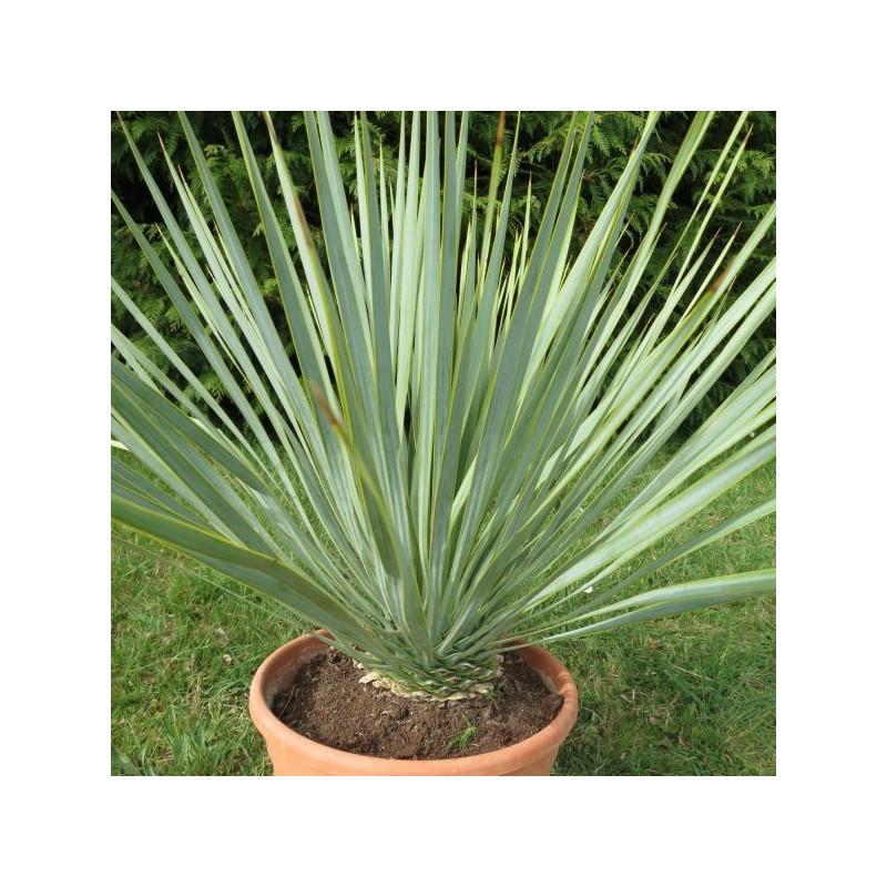 Yucca rostrata production - Plante resistant au gel ...