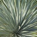 Yucca rostrata blue swan
