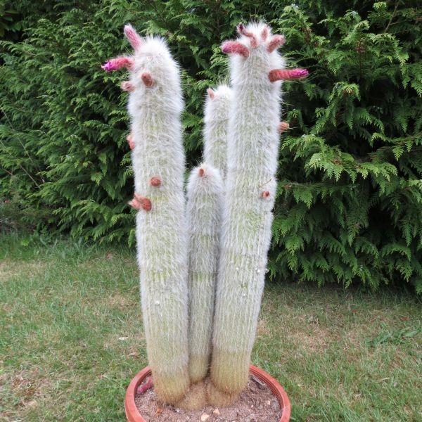 cleistocactus strausii, cactus cierge