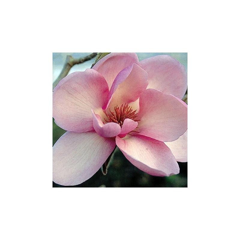 Magnolia denudata 'Iolanthe'