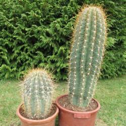 Echinopsis pasacana 40 et 90 cm