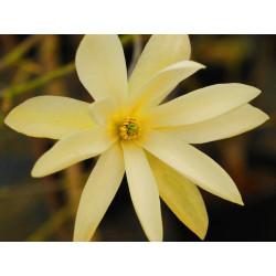 Magnolia fraseri 'gold star'