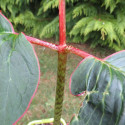 Arisaema speciosum magnificum