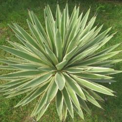 Agave augustifolia marginata