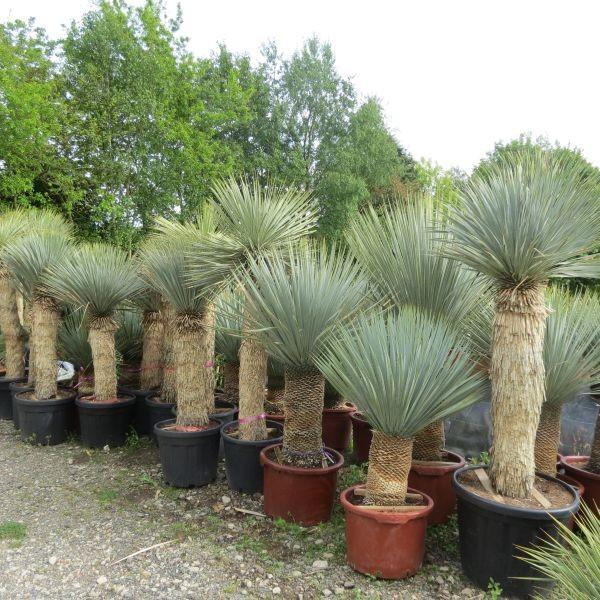 palmier yucca