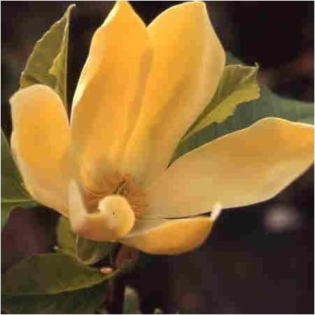 Magnolia 'golden joy'