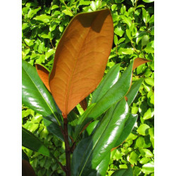 Magnolia DD Blanchard