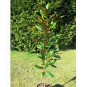 Magnolia grandiflora 'DD Blanchard'