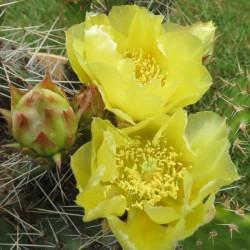 Opuntia macrorhyza Susanne