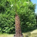 Cyathea australis 90 cm