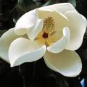 Magnolia grandiflora 'François Treyve'