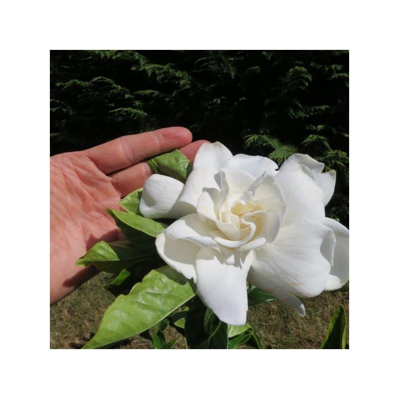 Gardenia summer snow