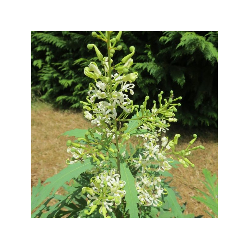 Lomatia fraxinifolia