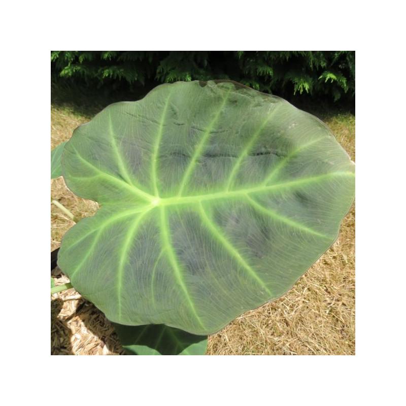 Colocasia imperial gigante