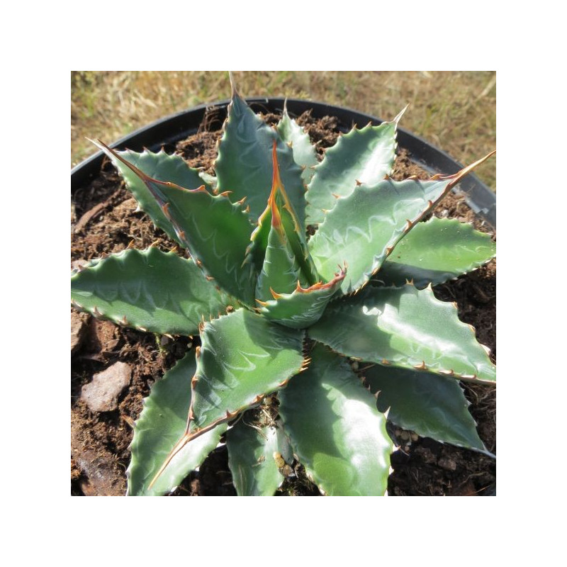 Agave neomexicana Elodie