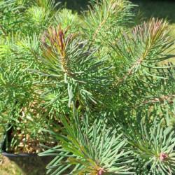 Euphorbia Clarice Howard