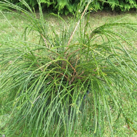 Thuya plicata whipcord