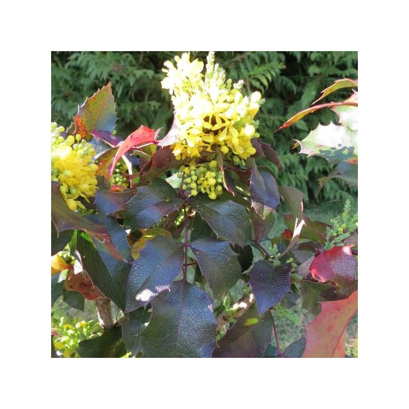 Mahonia aquifolium smaragd